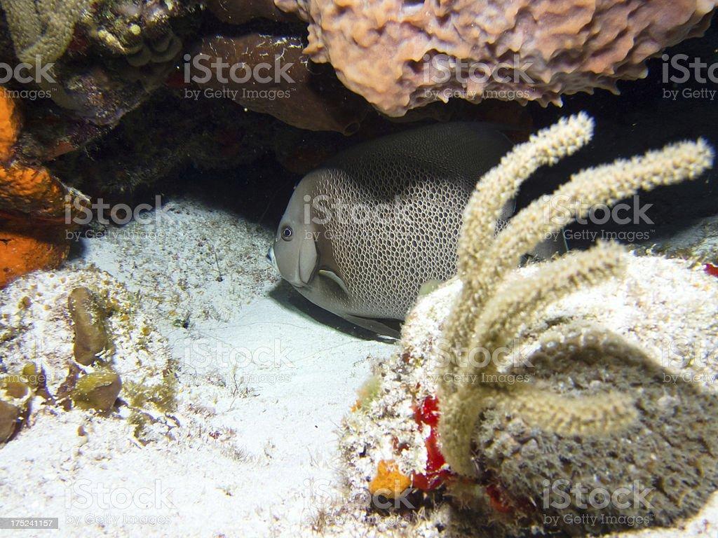 Angel Fish royalty-free stock photo