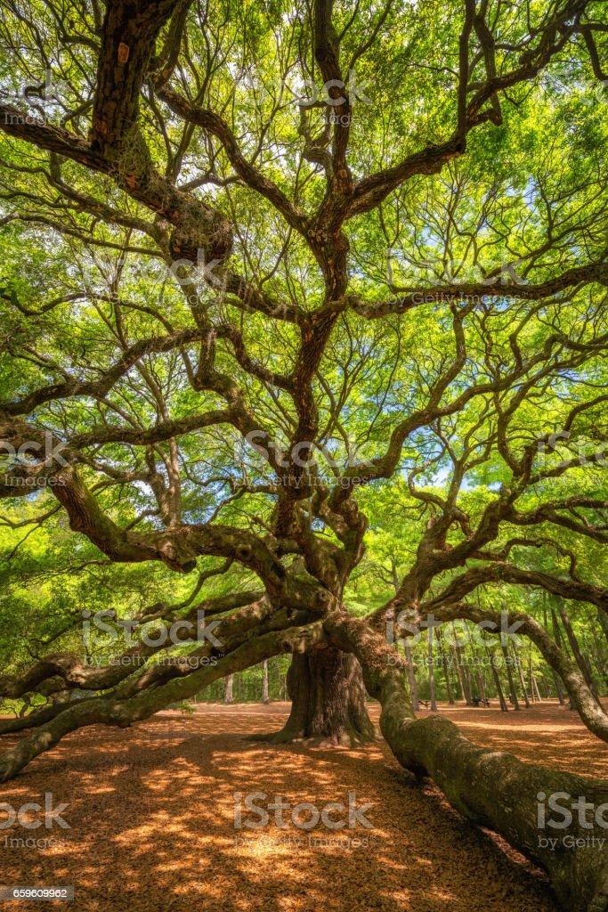 Angel Oak Tree Branches stock photo