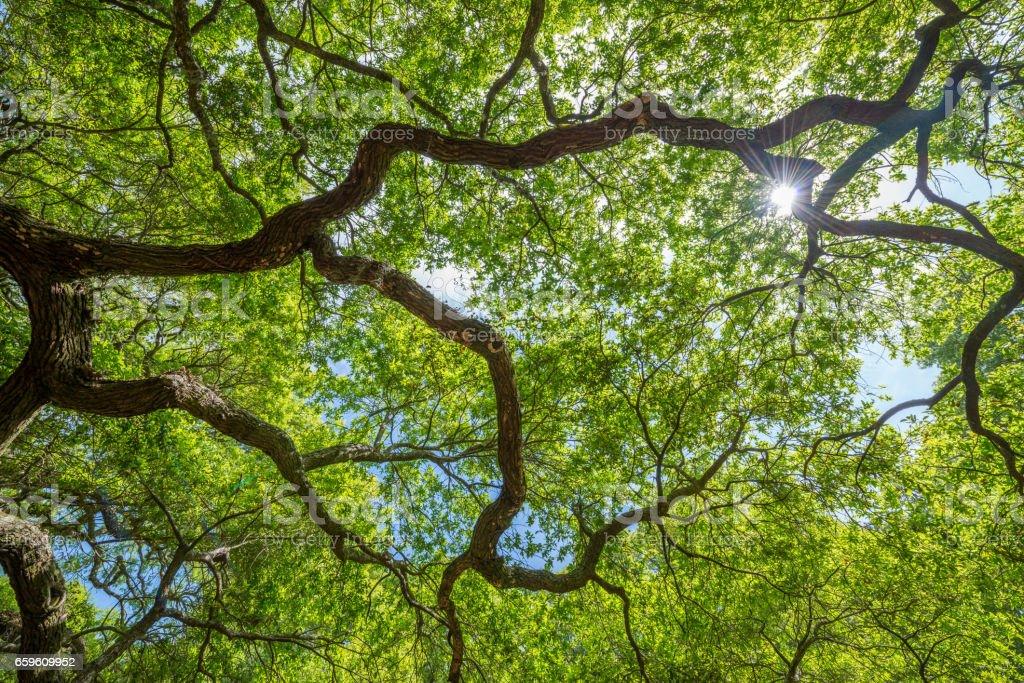 Angel Oak Tree looking up stock photo