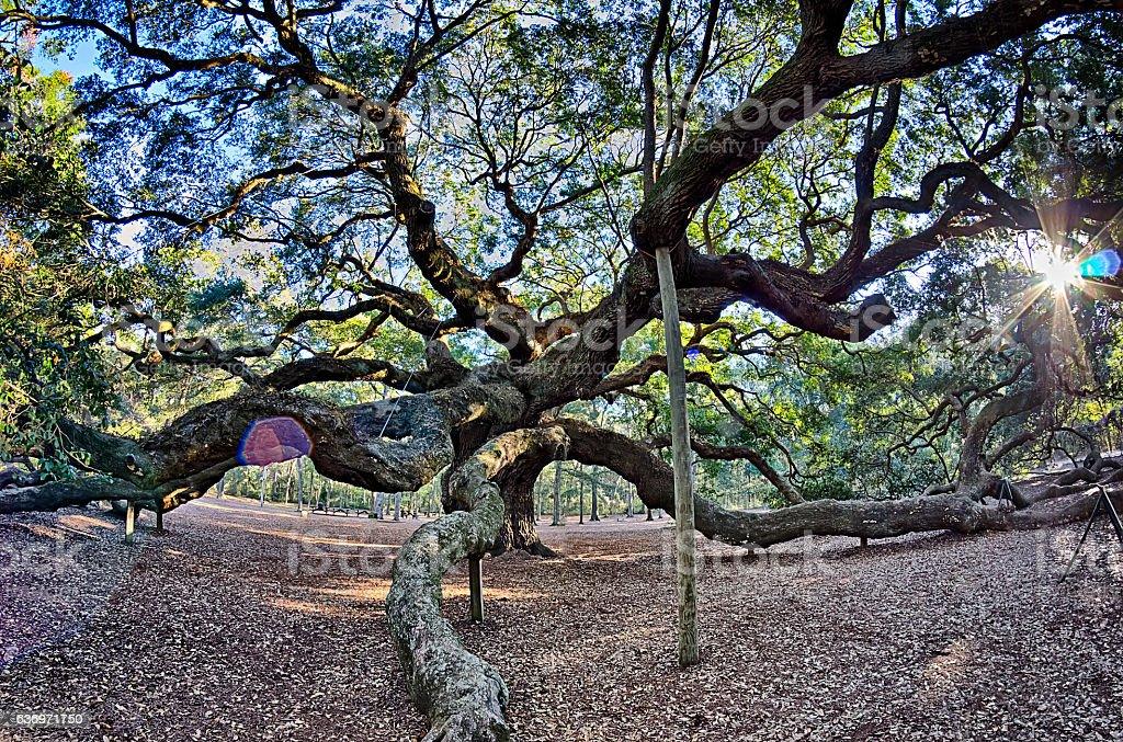 Angel Oak Tree on John's Island South Carolina stock photo