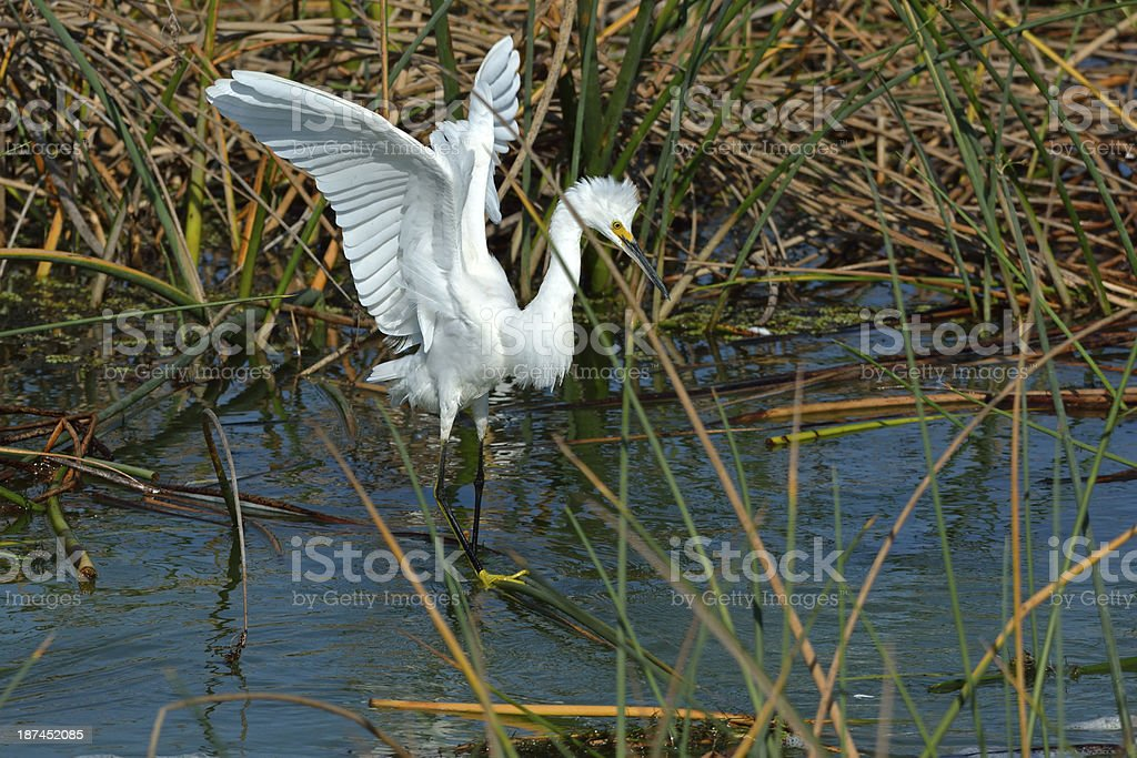 Angel Wings of a Snowy Egret stock photo