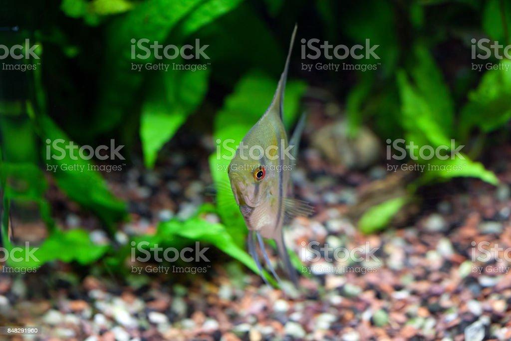 Angelfish in Tropical Aquarium stock photo