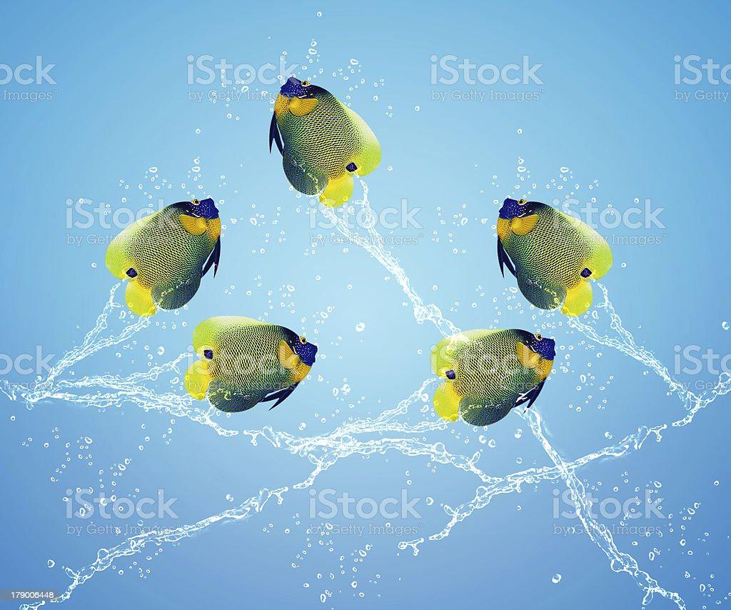Angelfish jumping royalty-free stock photo