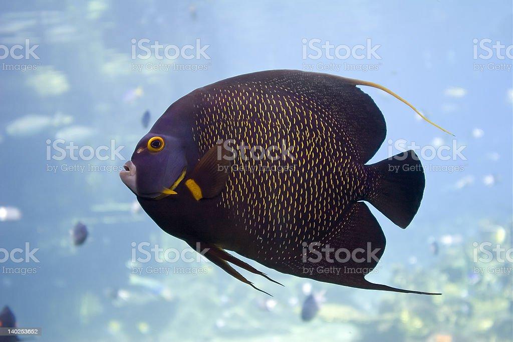 Angelfish royalty-free stock photo