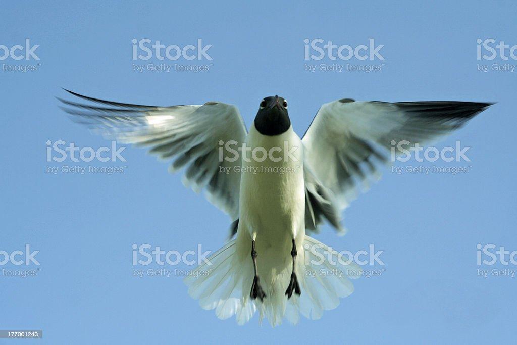 Angelic Seagull stock photo