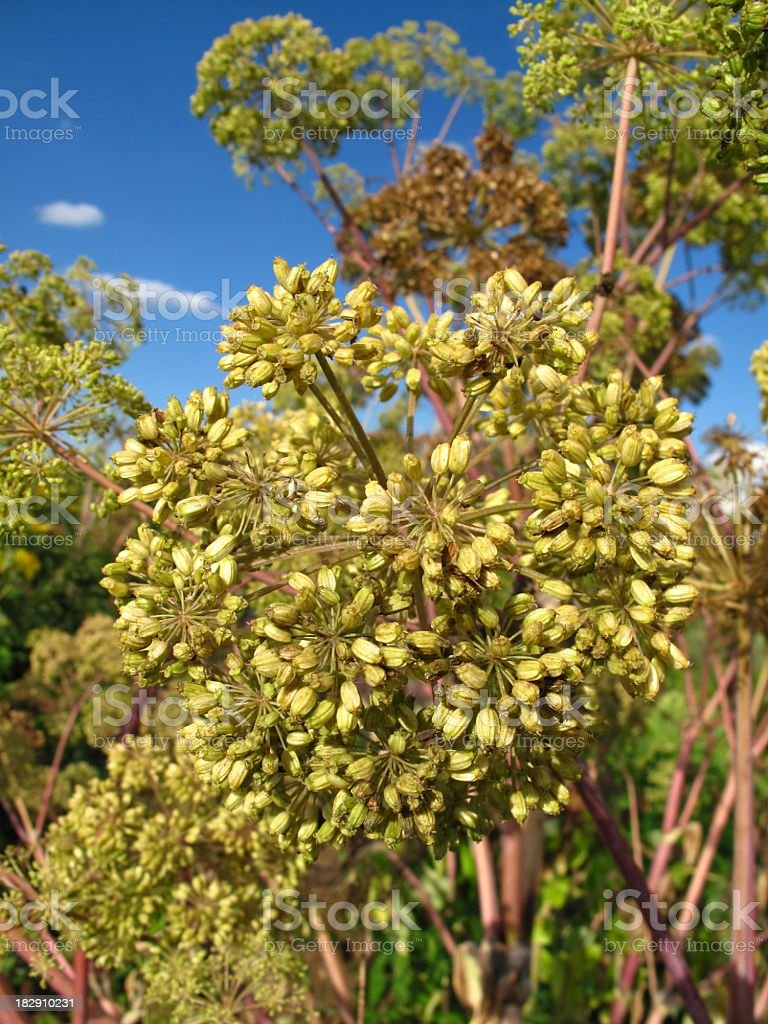 Angelica archangelica blossoms royalty-free stock photo