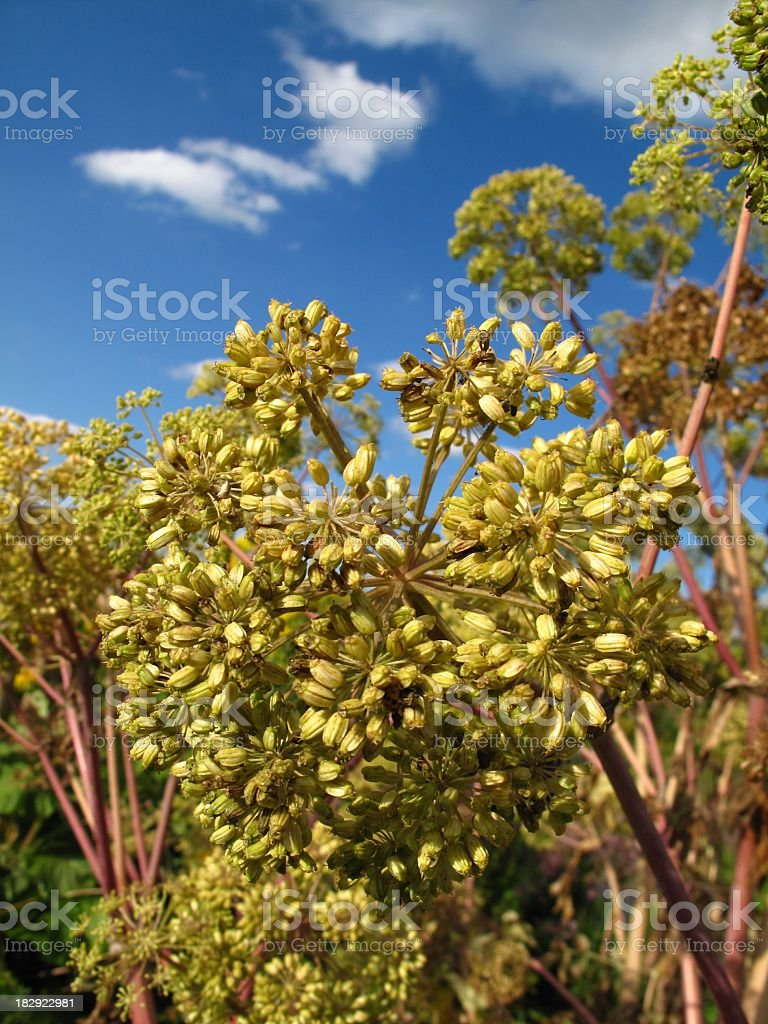 Angelica archangelica blossoms stock photo