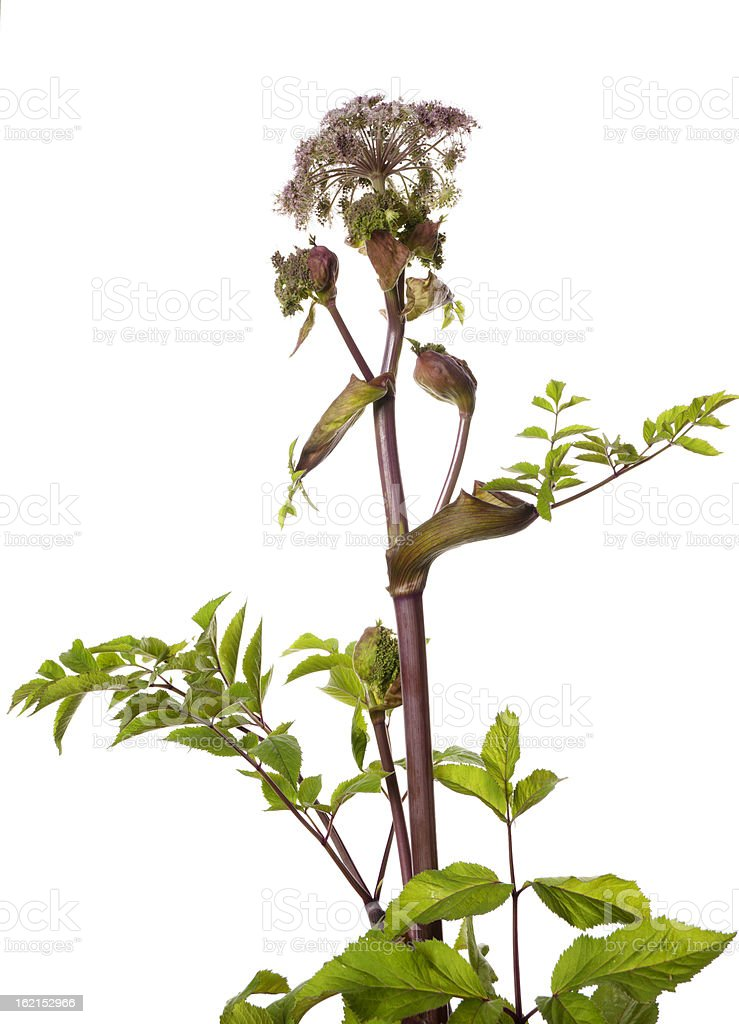 Angelica archangelica stock photo