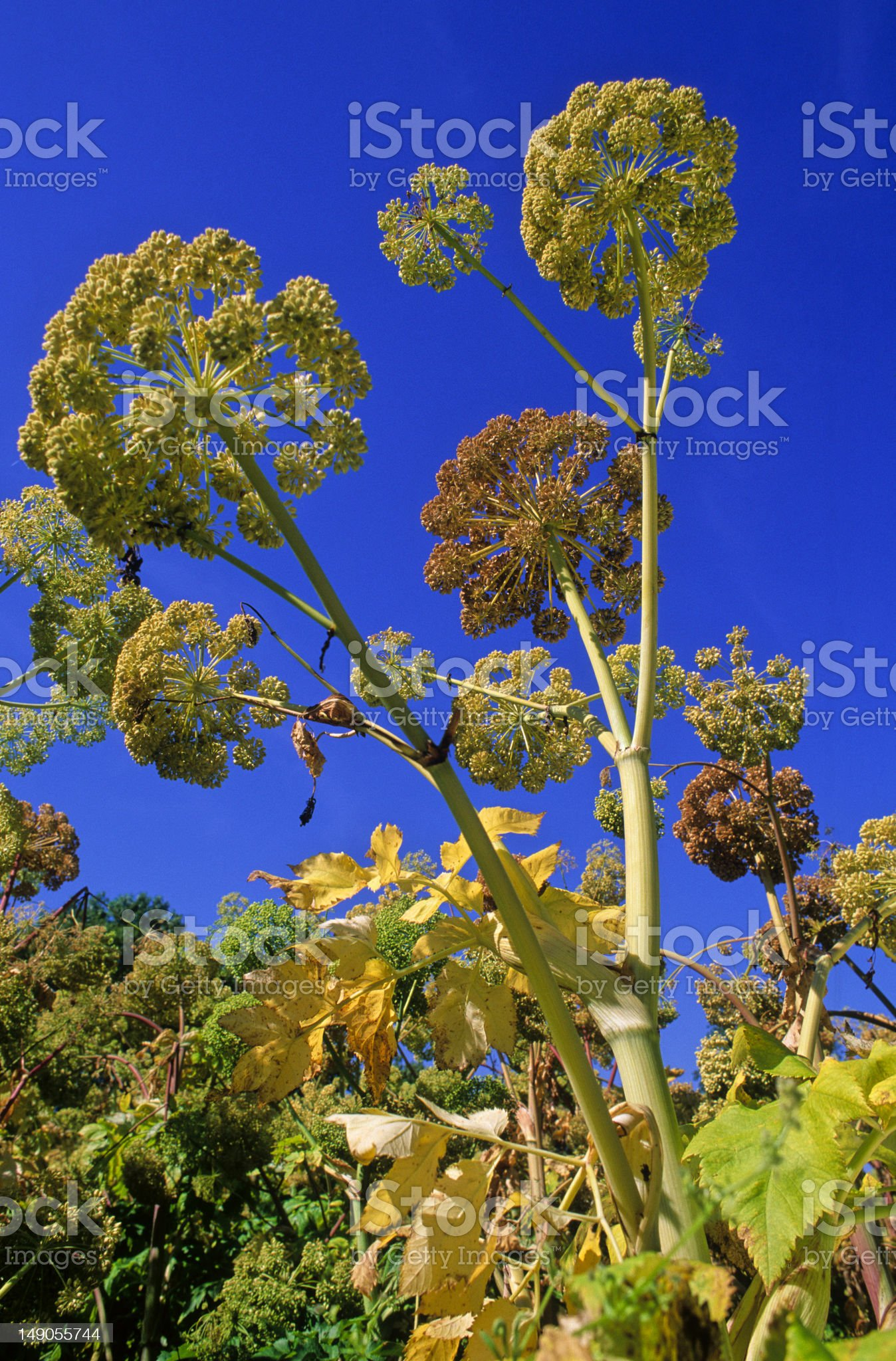 angelica blossom royalty-free stock photo