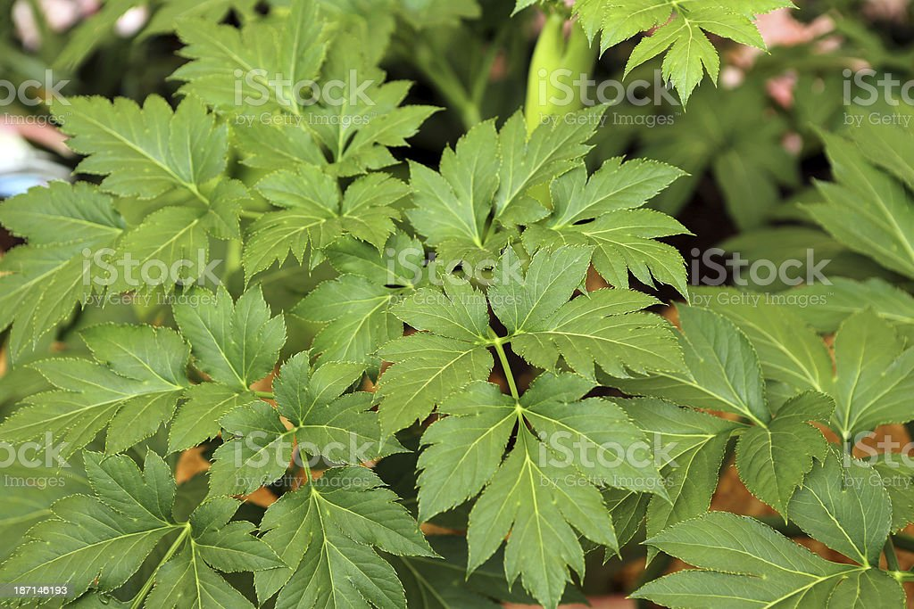 Angelica Keiskei royalty-free stock photo