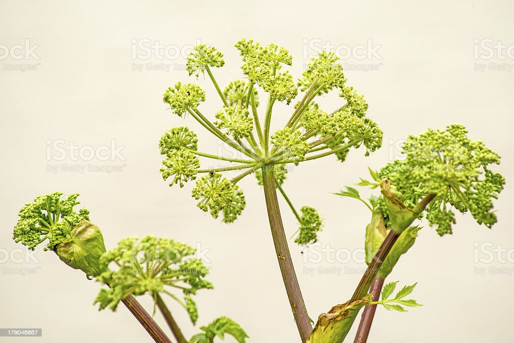 Angelica, medicine plant and food stock photo