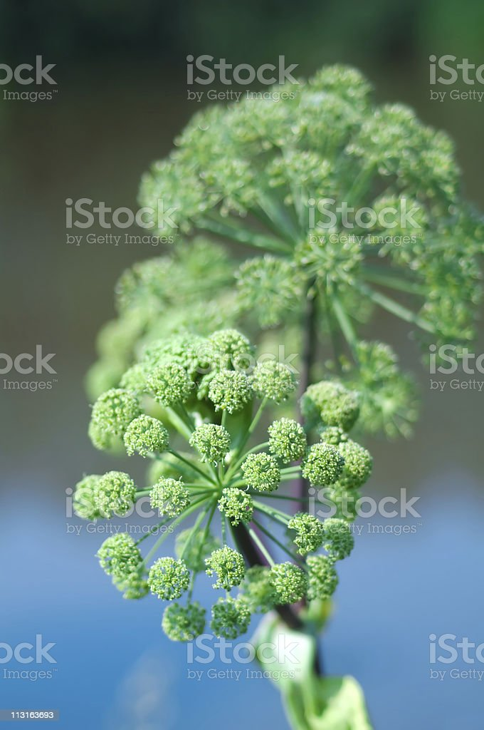 Angelica plan. Close-up stock photo