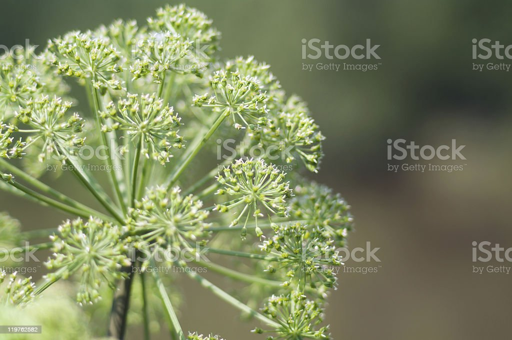 Angelica plan. Close-up royalty-free stock photo