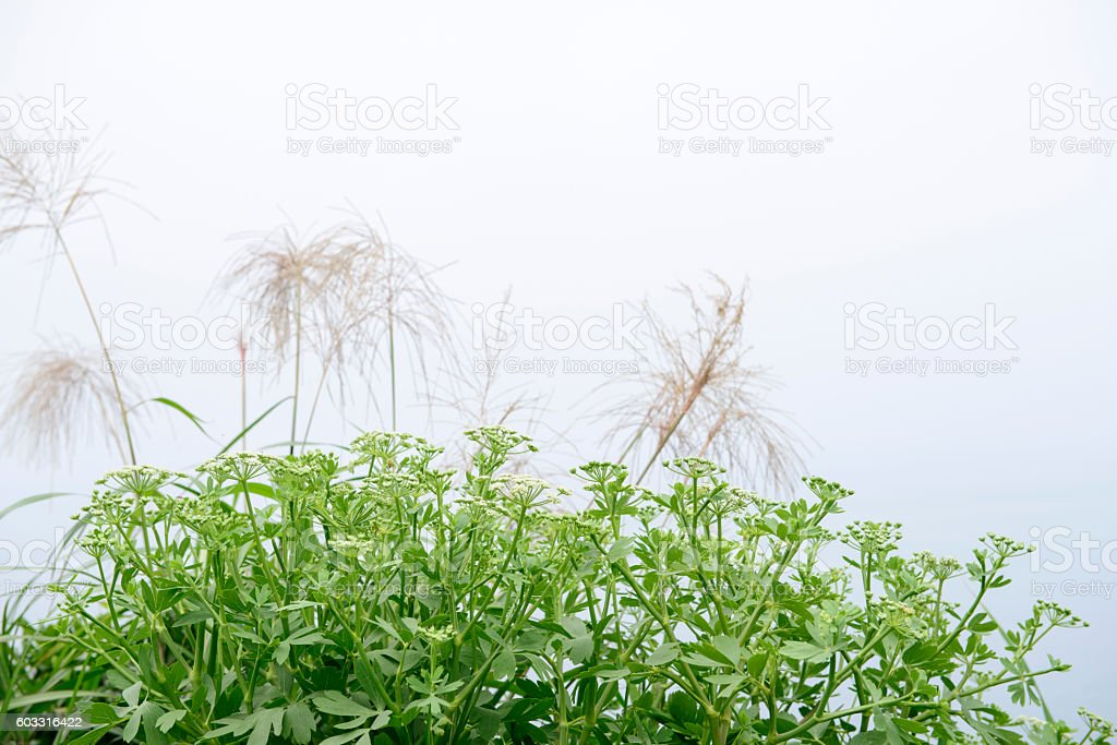 Angelica plan. Close-up . stock photo