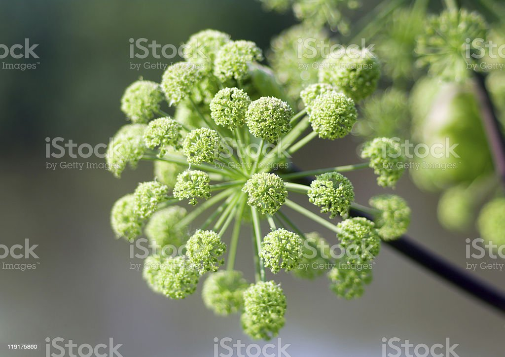 Angelica plan. summer royalty-free stock photo