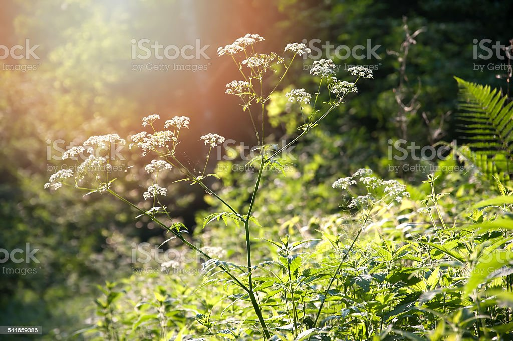 Angelica sylvestris in forest stock photo