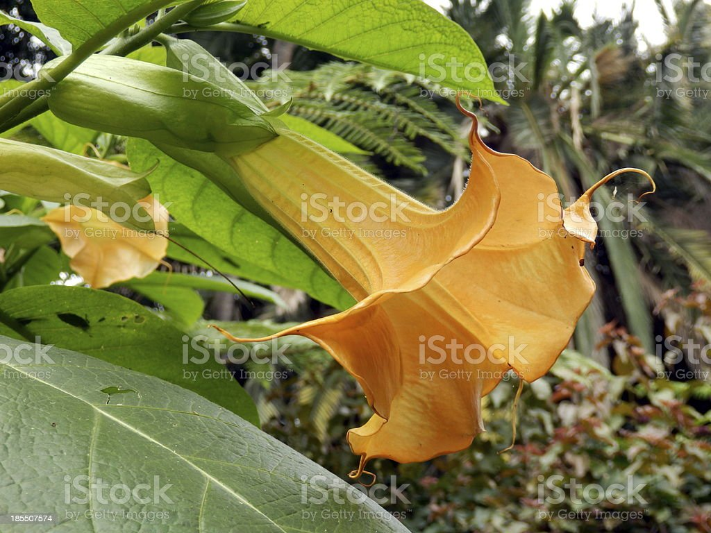Angels Trumpet royalty-free stock photo