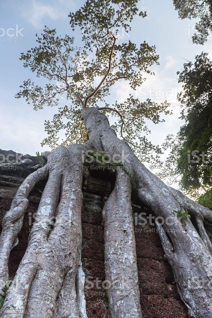 Angkor tree royalty-free stock photo