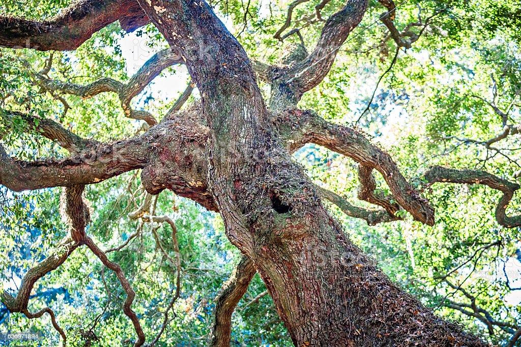 Angle Oak Tree in Johns Island of South Carolina stock photo
