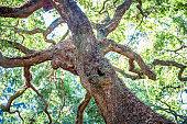 Angle Oak Tree in Johns Island of South Carolina