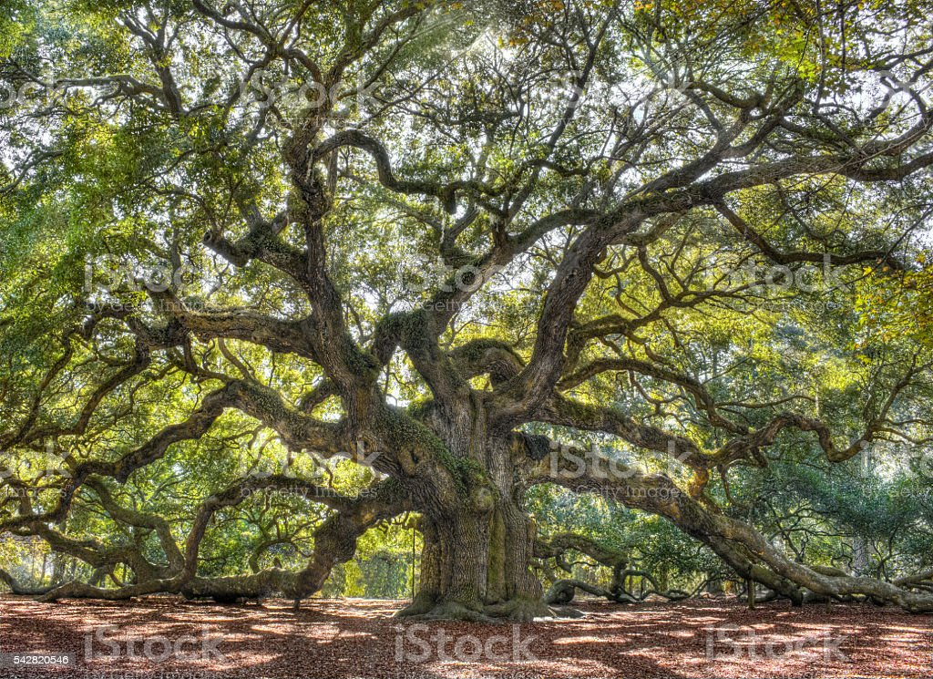 Angle Oak Tree of South Carolina stock photo