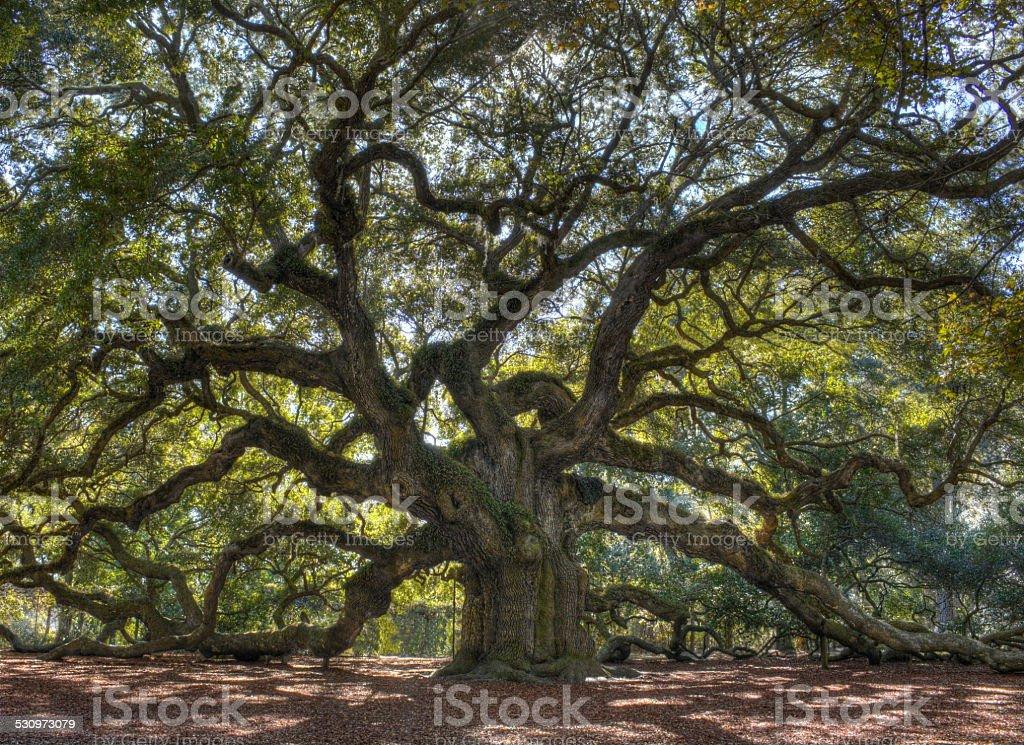 Angle Oak Tree stock photo