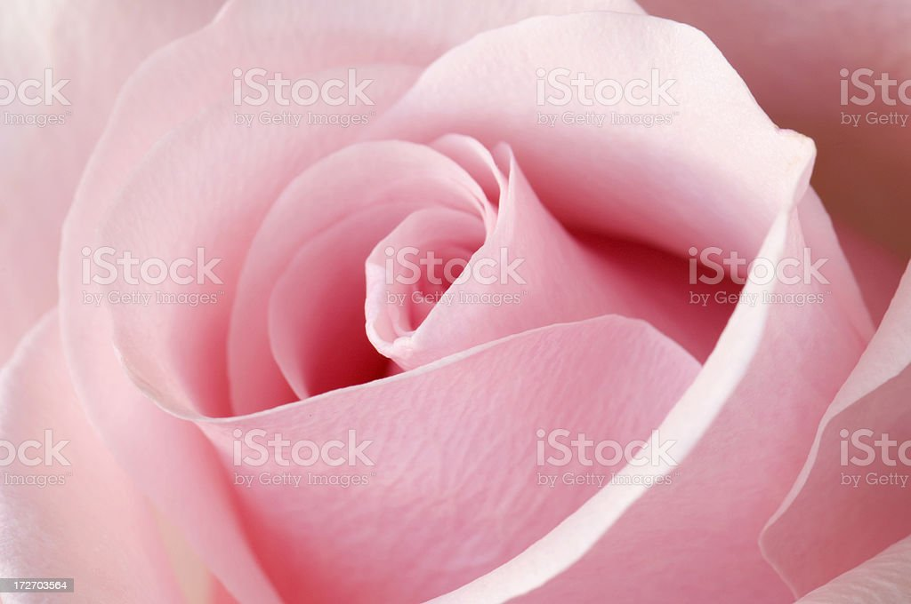 Angled view of an opening Pink Rose royalty-free stock photo
