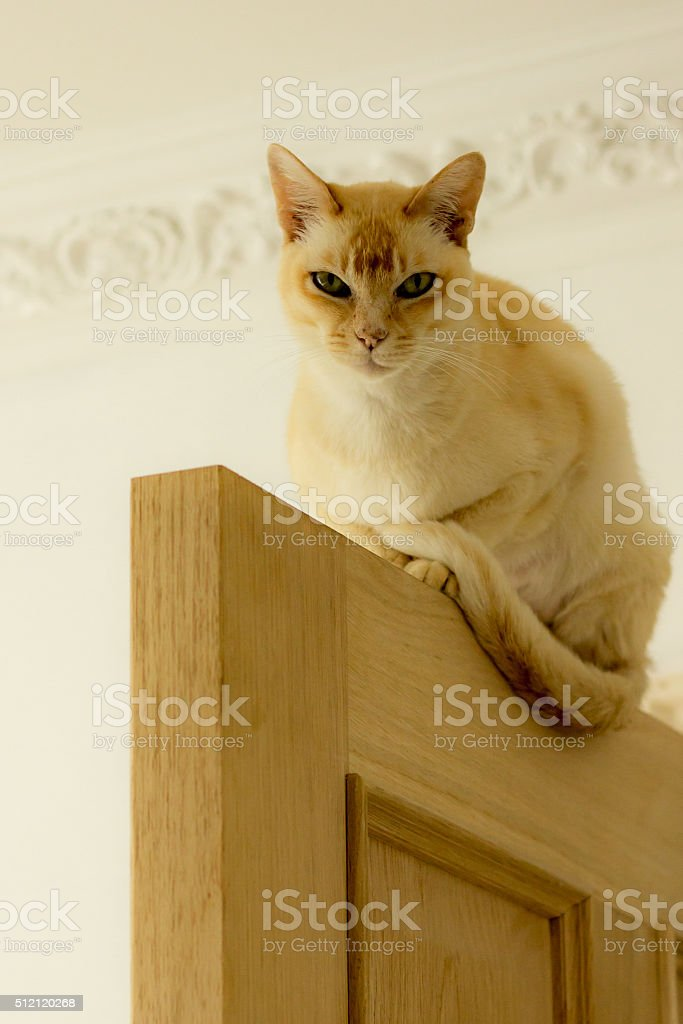 Angled view of pretty burmese cat balanced on a door stock photo