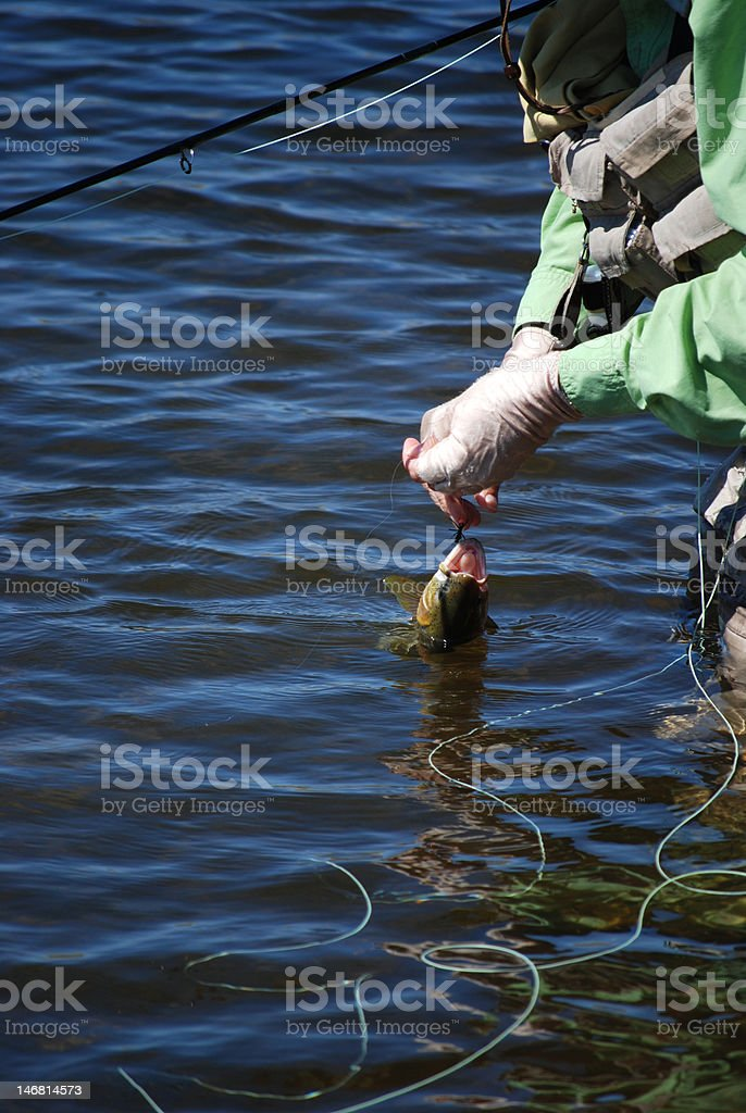 Angler Releasing A Large Cutthroat Trout royalty-free stock photo