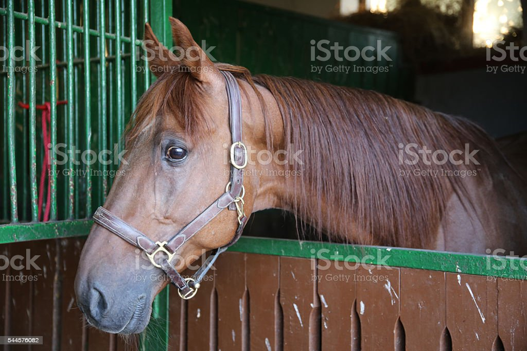 Anglo-arabian racehorse watching other horses out of the stable stock photo