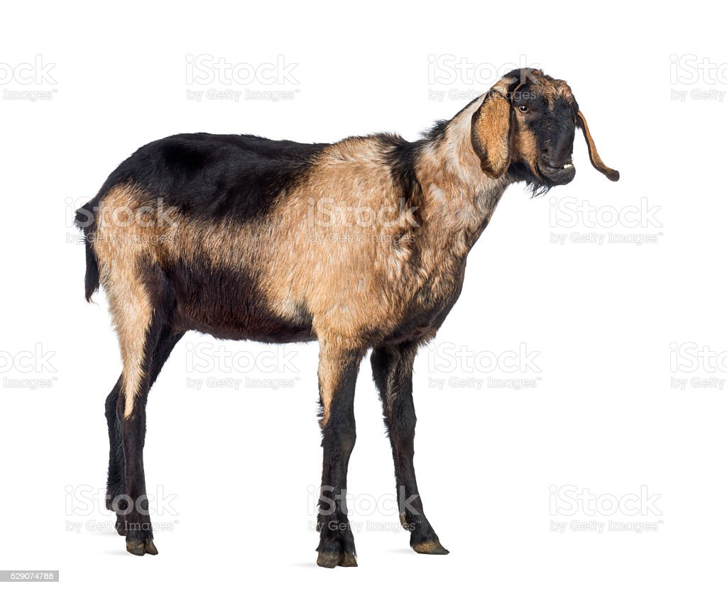 Anglo-Nubian goat with a distorted jaw, looking away stock photo