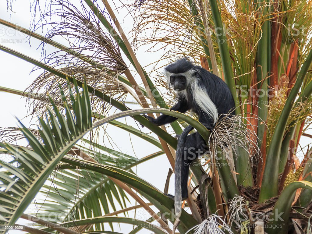 Angolan black and white colobus sitting on a branch stock photo