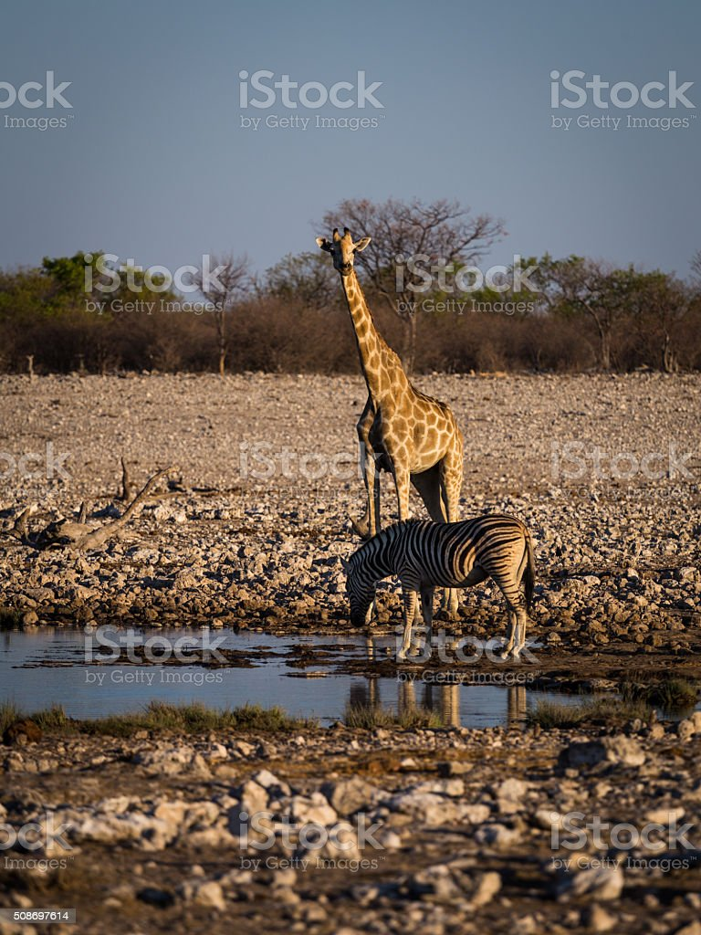 Angolan giraffe and mountain zebra stock photo