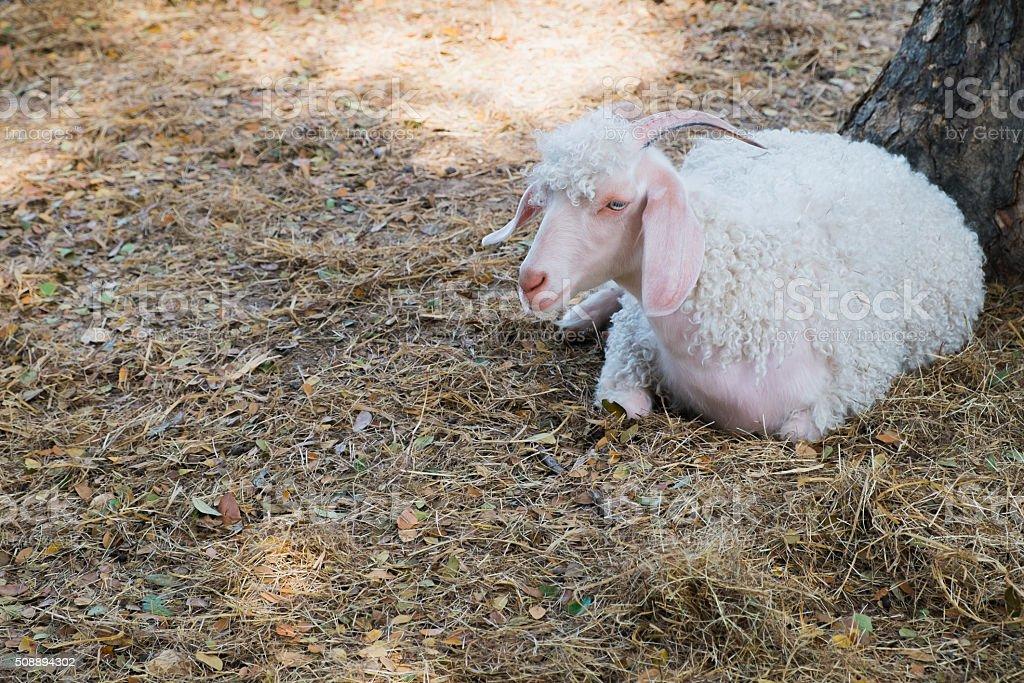 Angora goat Lizenzfreies stock-foto