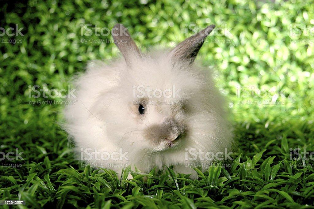 Angora Rabbit royalty-free stock photo
