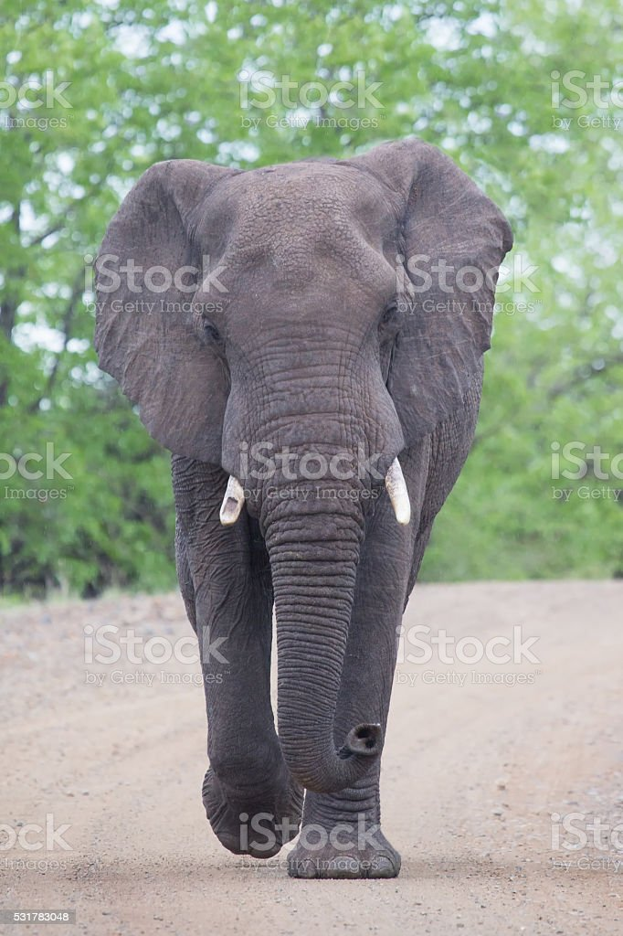 Angry and dangerous elephant bull charge along dirt road stock photo