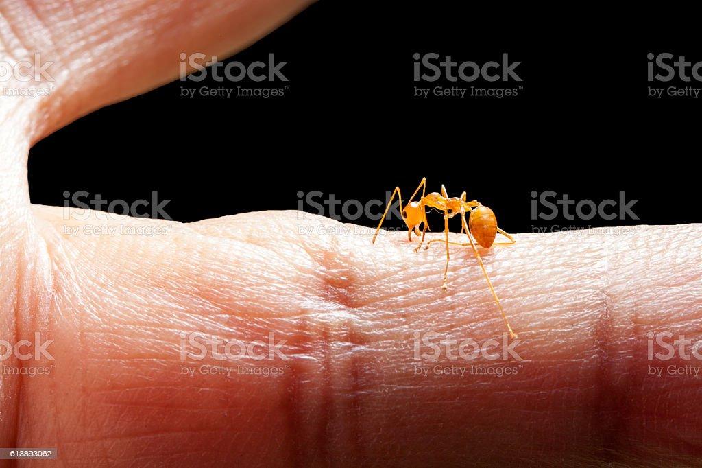 Angry ant biting human skin stock photo