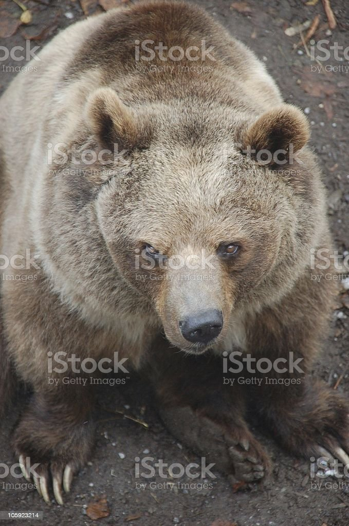 Angry Bear in Bern Bearpit stock photo