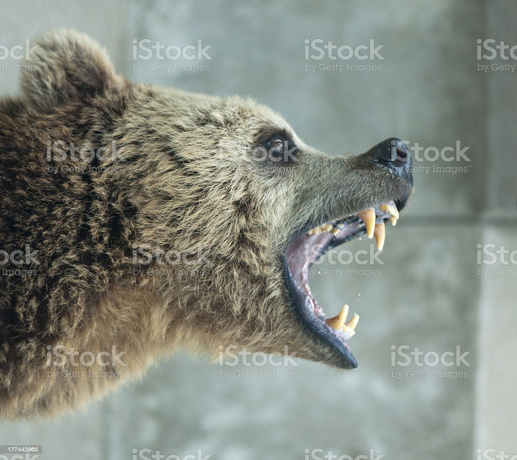 Angry Bear stock photo