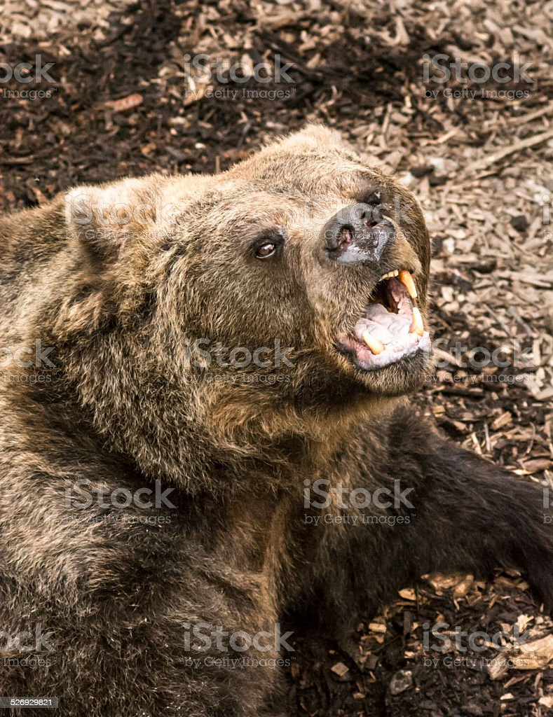 Angry bear roaring stock photo