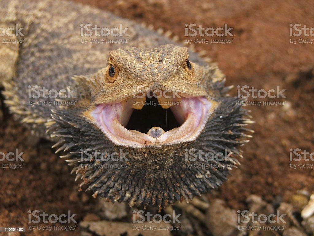 Angry Bearded Dragon stock photo