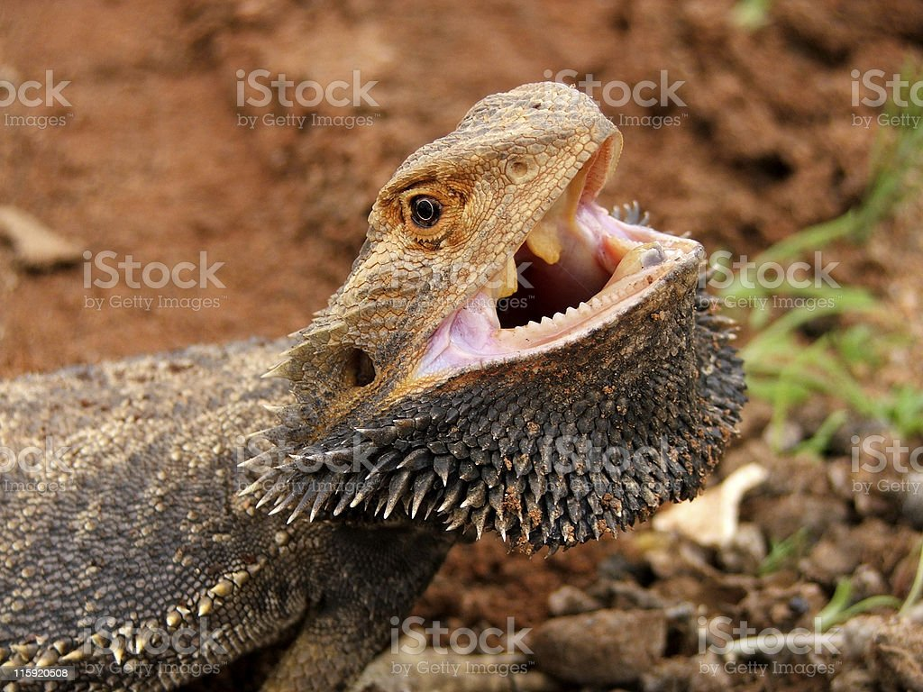 Angry Bearded Dragon (Pogona vitticeps) with mouth open outback Australia stock photo
