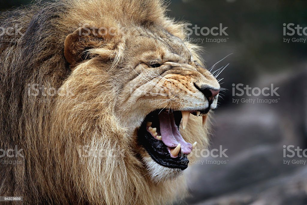 Angry big male lion royalty-free stock photo