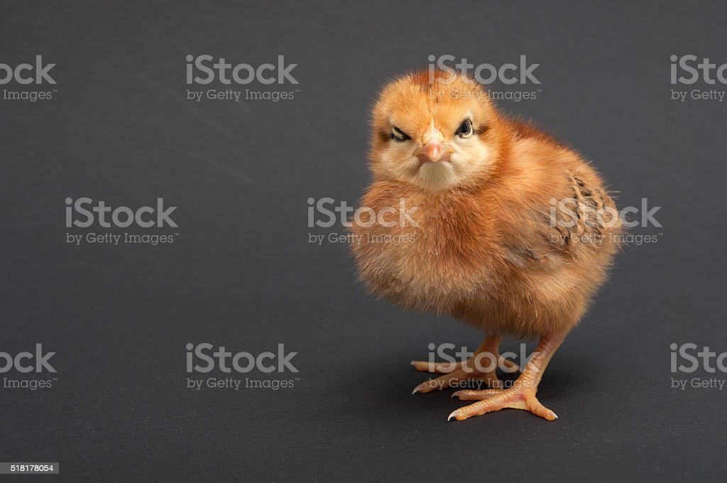 Angry Bird - chick. stock photo