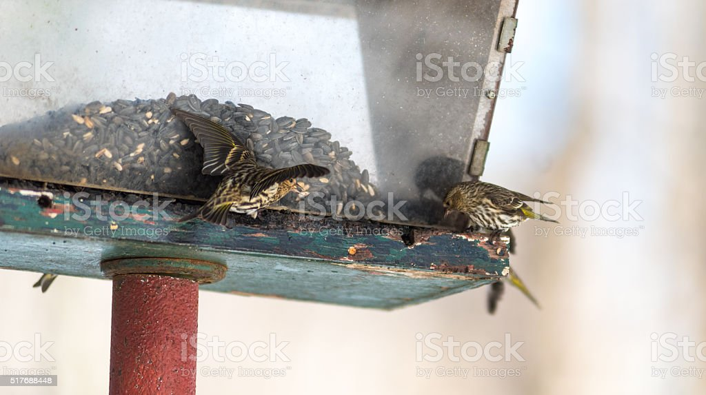 Angry birds.  Pine Siskin finches (Carduelis pinus) at a feeder. stock photo