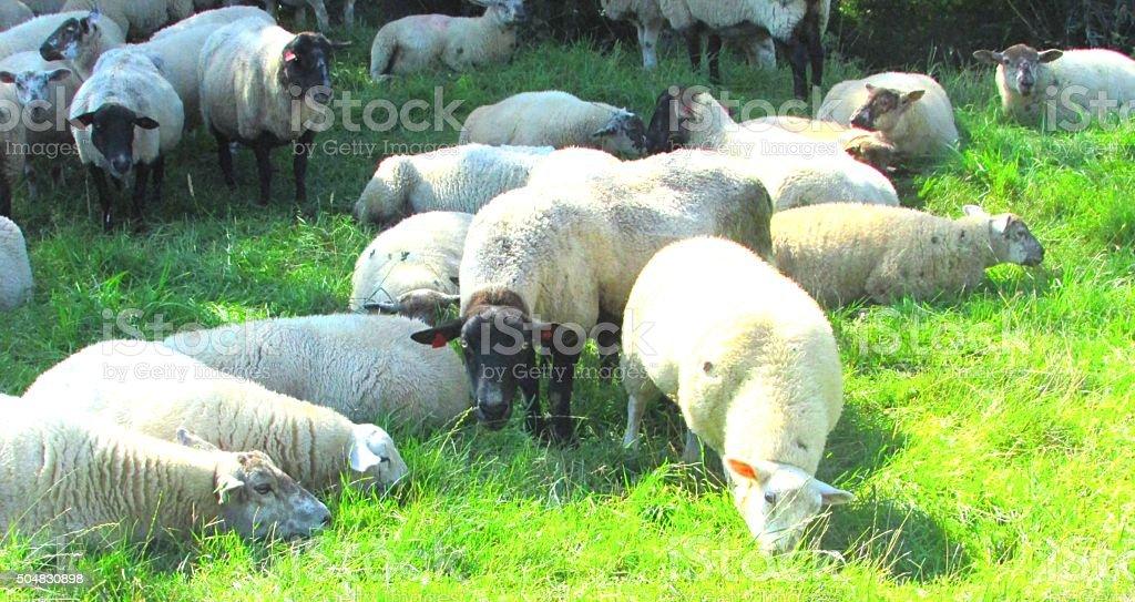 angry black faced sheep stock photo