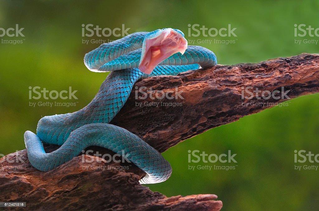 angry blue viper snake trimeresurus insularis stock photo