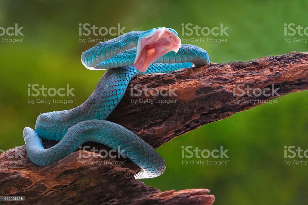 angry blue viper snake trimeresurus insularis stock photo