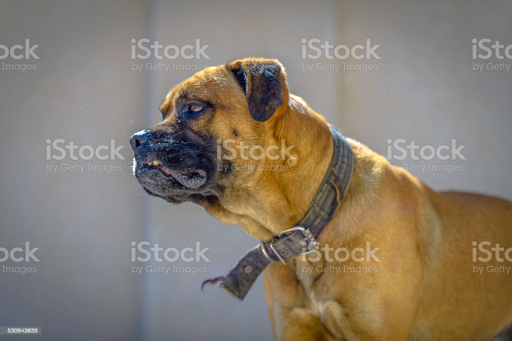 Angry Boxer profile stock photo