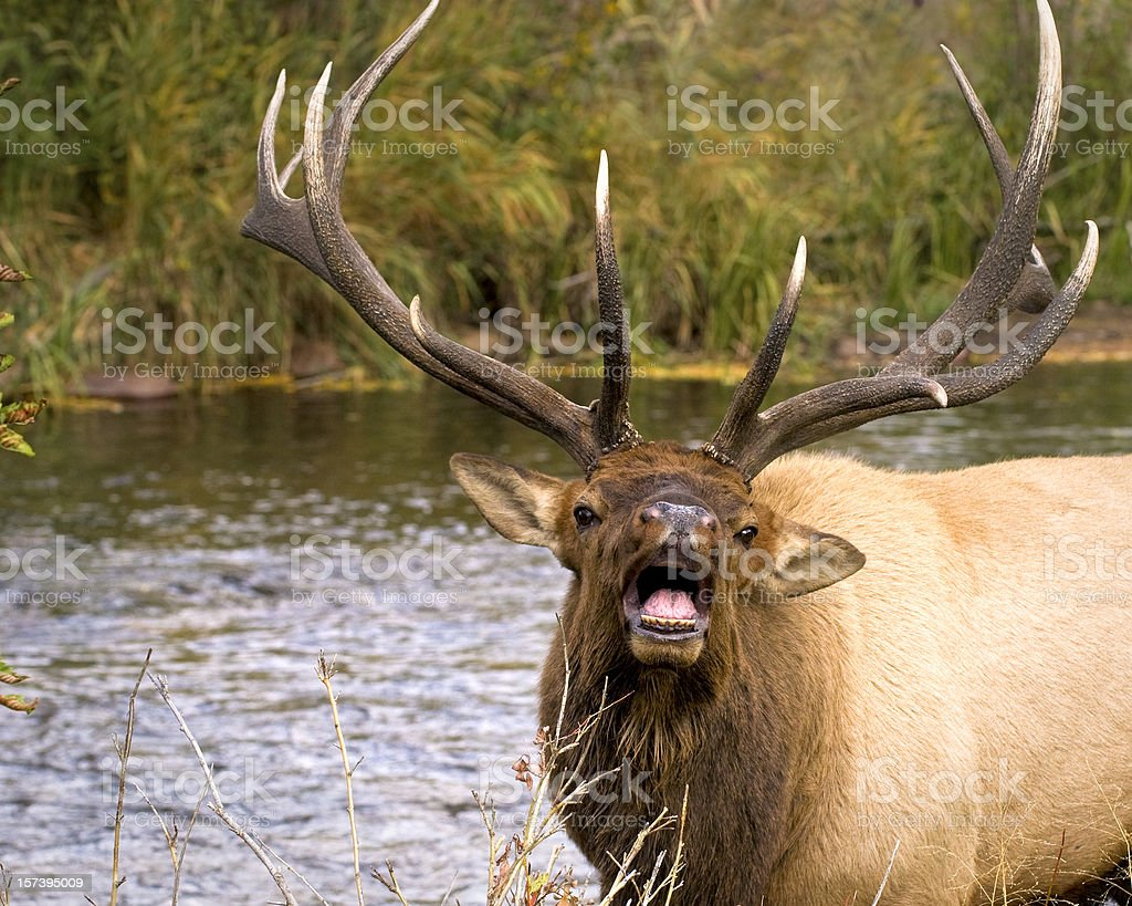 Angry Bull Elk stock photo